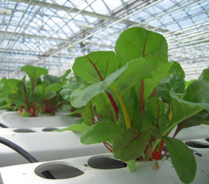 Rainbow Chard grown with hydroponics in Lufa's rooftop greenhouse